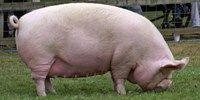 Swine vs. Avian flu: Avian won. Not Swine Flu on The Scientist
