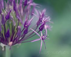 Purple Flower Macro Fine Art Photograph Green by PrettyPetalStudio (Susan O'Connor)