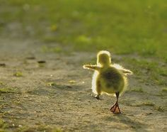 If it walks like a duck . . . | Funny dog captions