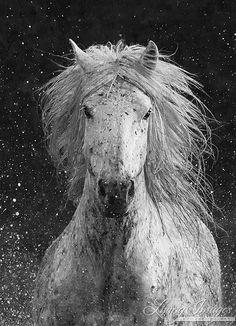 Splash, Camargue horse running through the water Fine Art Horse Photography by Carol Walker  www.LivingImagesCJW.com