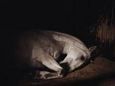 Charlotte Dumas (1977) is bekend om haar fotografie van politiehonden en politiepaarden van de Amsterdamse politie, maar tegenwoordig fotografeert ze ook veel wolven. Voordat ze begon met het fotograferen van paarden, honden en wolven, heeft zij ook al tijgers gefotografeerd. Dumas heeft twee opleidingen gedaan voordat zij startte met werken: een opleiding aan Rietveld Academie en een opleiding aan de Rijksacademie.