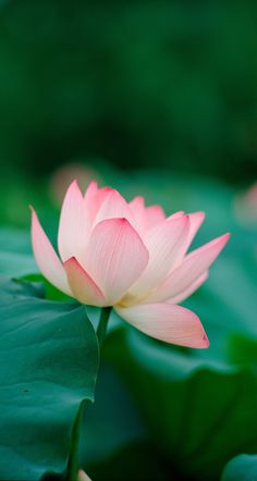 Lotus in bloom. Lotus Flower Wallpaper, Zen Wallpaper, Lotus Flower Art, Iphone Wallpaper, Exotic Flowers, Beautiful Flowers, Lotus Painting, Flower Pictures, Water Lilies