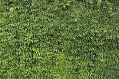Ivy Texture - 7 by AGF81 on deviantART