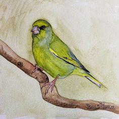 Apuntes naturales: Verderón común-European greenfinch (Chloris chlori...