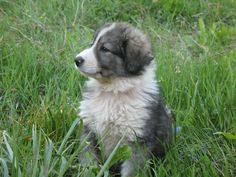 The Carpathian Shepherd Dog (Ciobănesc Românesc Carpatin) is a breed of large sheep dogs that originated in the Carpathian Mountains of Romania. Sheep Dog Puppy, Dog Breeds List, What Kind Of Dog, Huge Dogs, Dog Wallpaper, Shepherd Puppies, Dog Names, Dog Photos, Best Friends
