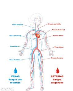 sistema circulatorio humano - Buscar con Google                                                                                                                                                                                 Más