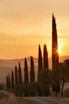 Albero di cipro Toscana Italia