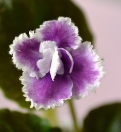 Party Lace, Semi-miniature african violet flower