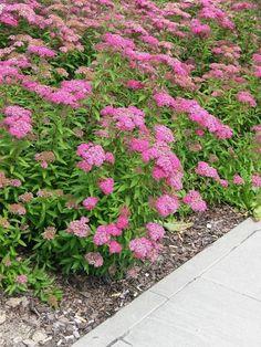 Tawuła japońska - kwitnie w lipcu odmiany 50-150cm. Przycinać po  kwitnieniu