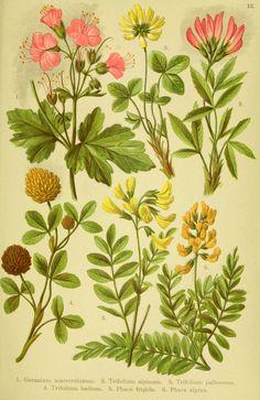 Alpen-Flora für Touristen und Pflanzenfreunde Stuttgart :Verlag für Naturkunde Sprösser & Nägele,1904. biodiversitylibrary.org/page/10384009