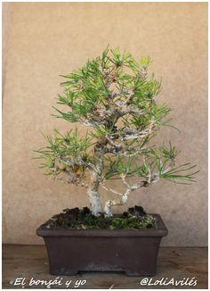 No os lo vais creer: dos más - El bonsái y yo