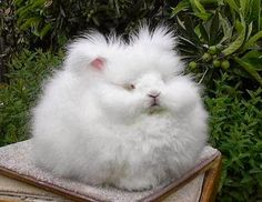 Today, in awesome stuff on the Internet: this fluffy bunny, a blizzard of white wool with only the faintest traces of a face (oh, it's there though, you just have to work for it). Where did it come from? What does it like to do? How can we get one ourselves? Did it eat the …