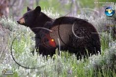 The Best Shot Placement for Black Bear