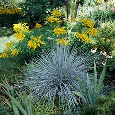 Blue oat grass,,the blue gray makes such a great accent plant with pinks, fuschia and purple