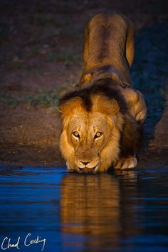 Thirsty Lion - South Africa