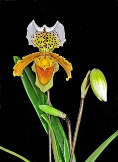 Paphiopedilum Insigne 'Harefield Hall' orchid | Peter on flickr
