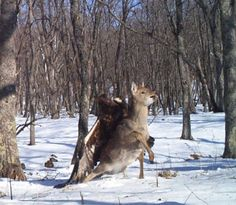 Golden Eagle attacking a Sika Deer, amazing camera trap photo, Eastern Russia