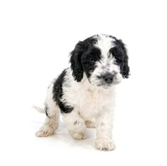Sproodle puppy...so cute, who knew?