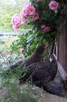 Chicken Run Landscaping: how to grow and which non-toxic plants will grow in the run. (side of coop}