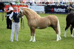 Welsh Pony of Cob Type (section C) - stallion Cargersar Silver Shadow