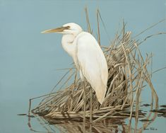 White Heron in brown grass.
