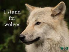 I stand for wolves - no hunting animals for sport! Wild Creatures, All Gods Creatures, Wolf Warriors, African Wild Dog, Howl At The Moon, Wolf Quotes, Coyote Hunting, Wolf Love, Wolf Pictures