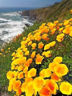 California Poppy (Eschscholzia californica) - I have a weakness for yellow flowers, so pretty! Yellow Flowers, Wild Flowers, Beautiful Flowers, Spring Flowers, Beautiful World, Beautiful Places, Beautiful Pictures, Wonderful Places, Image Nature