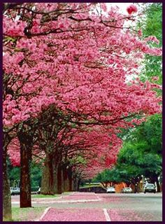 Ipê- roxo is a typical tree with beautiful flowers.  In Maringá city, Paraná, my city!