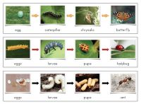 The Helpful Garden: Insect Lore Life Cycle Matching Activities and Control Cards Montessori Science, Preschool Science, Science Classroom, Teaching Science, Science Activities, Science Projects, Life Science, Teaching Kids, Sequencing Activities