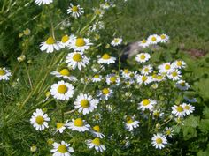 Chamomile is almost ready to pick, as is the oregano. Does anyone need any?