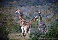 Giraffes in Kruger National Park, South Africa