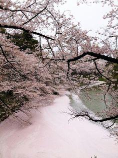 river of cherry petals, tokyo
