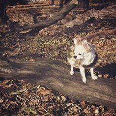 【shimi_8】さんのInstagramをピンしています。 《探検してます✨  my cutie 🐶  #dogstagram#pet#instadog#nature#instanature#stroll#forest#tree#instagram#instagood#instaphoto#photography#pic#mydog#dog#cute  #チワワ#犬#自然#風景#景色#木#森林#写真》