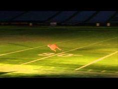 "Busch Gardens Cheetahs given the ""run"" of Tropicana Field."