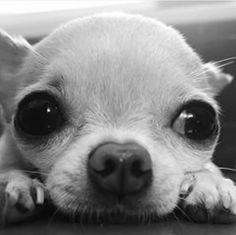 Looks like it could be my baby but it's not. #chihuahua