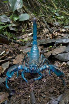escorpião azul