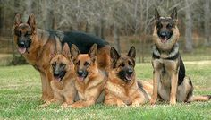 9 Facts About German Shepherd Dogs