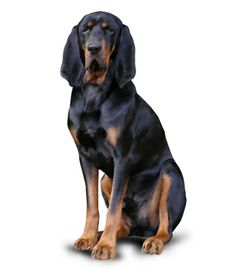 This is an easygoing, friendly #dog that is calm and playful. Is the Black And Tan #Coonhound the right #breed for you?