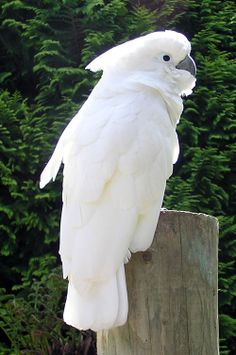 Lovely White Cockatoo | Read More Info