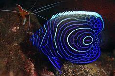 Na sua adolescência, o peixe-anjo-imperador possui uma magnífica estampa circular em tons de azul e preto, que se mantém até a idade adulta. Quando adultos, as manchas mudam e viram listras azuis e amarelas.