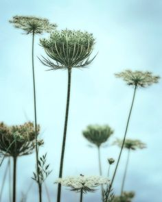 Queen Ann's Lace  cyan blue  green yellow wall by FloatingLeafArts