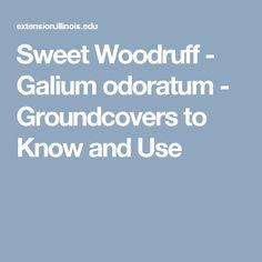 Sweet Woodruff - Galium odoratum - Groundcovers to Know and Use