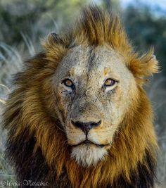 A lion sleeps in the heart of every brave man #proverb : @moosavarachia09 on Instagram #Lion #BigFive #KingOfTheSavannah #WanderlustWednesday #KrugerPark #BigCats #WildlifeWednesday