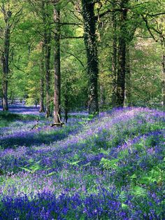 Bluebells... The Royal Forest of Dean, Gloucestershire