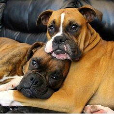 Marvelous Boxer Dogs Tips and Ideas Boxer Dogs Geschwisterliebe! Boxer Bringé, Boxer Love, Brindle Boxer, I Love Dogs, Puppy Love, Cute Dogs, Boxer Dogs Facts, Funny Boxer Puppies, Chihuahua Dogs