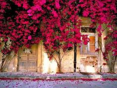 Bougainvillea - I just love these flowers! Hot Pink Flowers, Beautiful Flowers, Beautiful Pictures, Beautiful Wall, Photography Studio Background, House Photography, Photography Backdrops, Artistic Photography, Product Photography