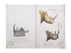 White Rhinoceros and African Rhinoceros, 1862 Giclee Print by John Hanning Speke at Art.com