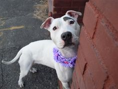 ***GONE, be at peace....   4/5/18 Sheila is at-risk of euthanasia and needs placement. Please consider opening your home today! Hello, my name is Sheila. My animal id is #23497. I am a desexed female white dog at the Brooklyn Animal Care Center. The shelter thinks I am about 2 years 1 weeks old. I came into the shelter as a agency on 23-Mar-2018. This pet needs a new hope rescue to help you adopt.