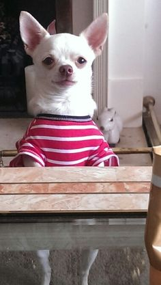 Jamie dog...follow him on facebook...jamie a little white chihuahua