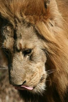 Pensive lion - Kruger National Park